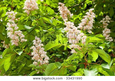Foliage and flowers of horse-chestnut
