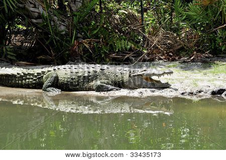 Alligator By Pond
