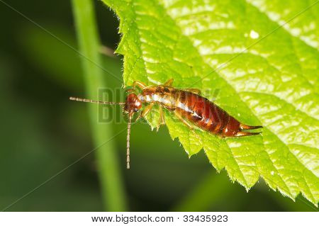 A brown earwig sits on a green leaf / Forficula auricularia