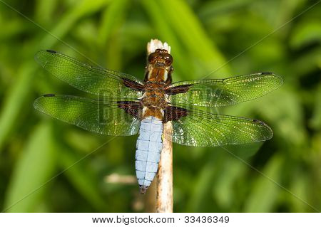 a male of Broad-bodied Chaser / Libellula depressa
