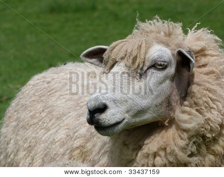 Face Of Romney Ewe