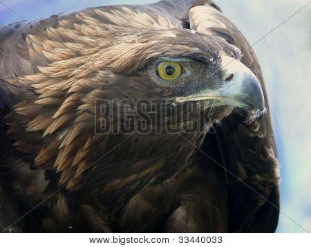 Red tail hawk looking upward