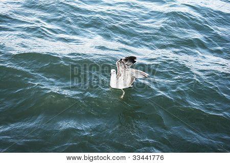 Seagull On Lake Sevan