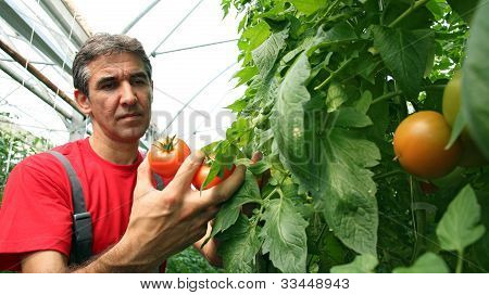 Tomato Harvest In Greenhouse