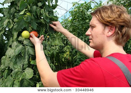 Farmer Picking Ripe Tomatoes