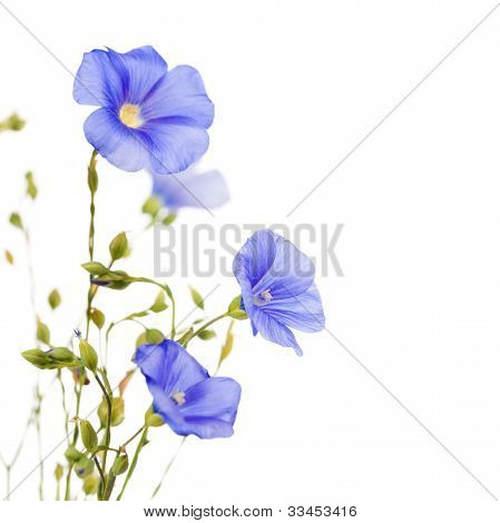 Beautiful Flowers Of Flax