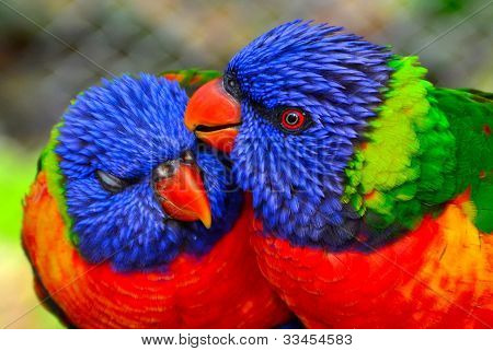 Lorikeet Parrots