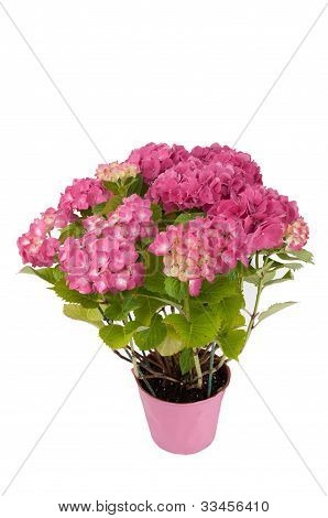 hydrangea flowers with a pink pot (top view)