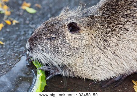 Nutria Eating Aloe Vera In A Zoo