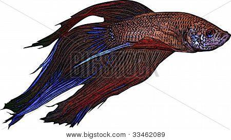 Beta Fish Illustration