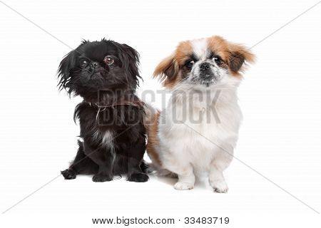 Japanese Chin And A Pekingese Dog