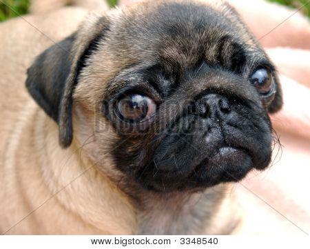 De Pug Puppy