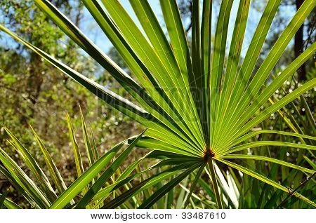 Sunshine through a palmetto