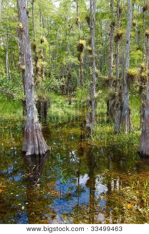 Bald Cypress TreesSwamp