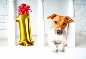 One Year Old Dog Birthday Party Concept With Dog And Number One Of Golden Inflatable Balloons. My Do poster