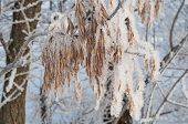 Snow And Hoarfrost On Dry Branches And Leaves. Winter Beautiful Picturesque Nature. In Picturesque F poster