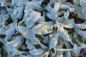Leaves Covered With Frost In The First Autumn Frosts, Abstract Natural Background. Green Leaves Of P poster
