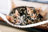 Two young Bengal cats resting on hammock . Relax at home poster