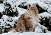 A Funny Norwegian Forest Cat Playing In Deep Snow poster