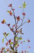 Common Whitebeam (Sorbus aria)