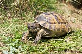stock photo of testudo  - spur - JPG