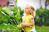 Cute Lovely Toddler Girl With Kohlrabi In Vegetable Garden. Happy Gorgeous Baby Child Having Fun Wit poster