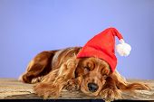 New Years Gift. English Cocker Spaniel Young Dog Is Posing. Cute Playful Brown Doggy Or Pet Is Sitti poster