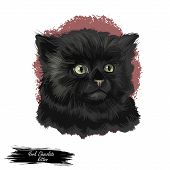 York Chocolate American Breed Of Show Cat, With Long, Fluffy Black Coat. Digital Art Illustration Pu poster