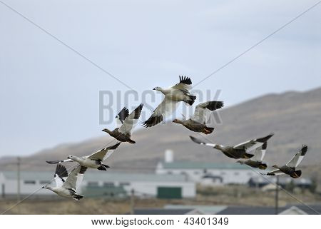 Upland Geese and Falklands