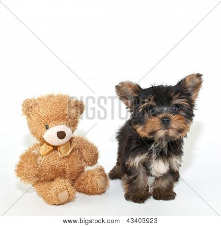 Yorkie Puppy And Friend