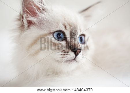 Siberian Neva Masquerade kitten close up portrait