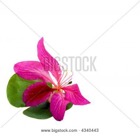 Hong Kong Orchid Flower