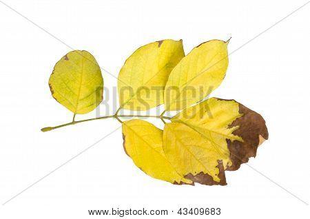 Millettia pinnata Autumn leaves