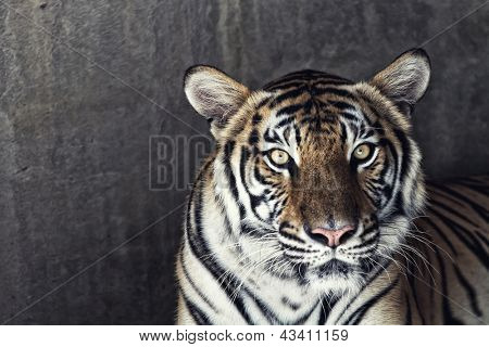 Portrait of a beautiful tiger over concrete wall