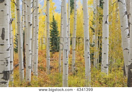 Autumn Aspens Elk Mountains