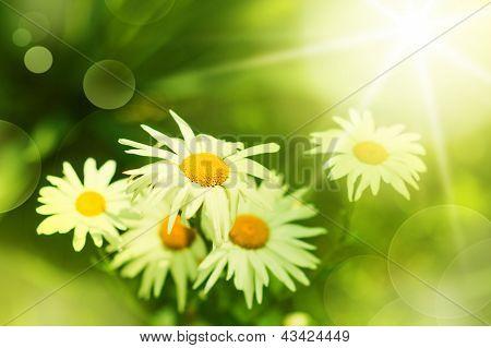 Flor de la Margarita en prado verde