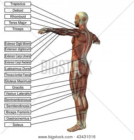3D male or human anatomy, a man with muscles and text isolated on white background