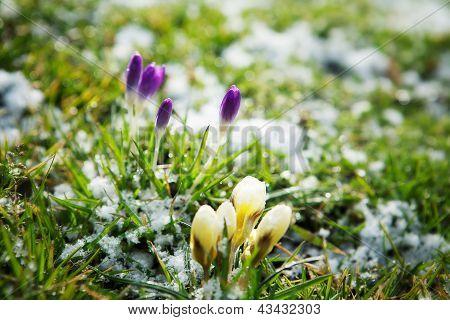 Flores crescendo na neve