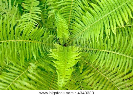 Fern Ornament
