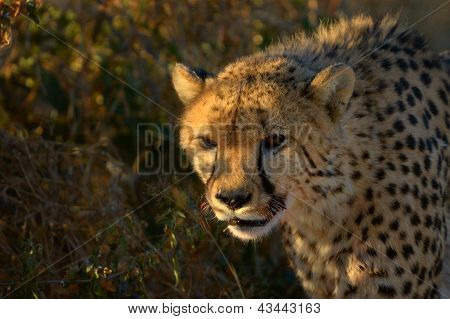 A Cheetah In The Sunset