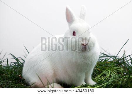 Fluffy white bunny rabbit sitting on grass on white background