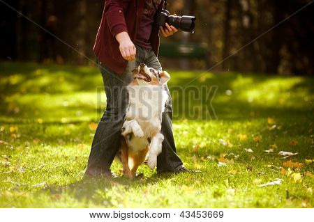 Young Merle Australian Shepherd Performs A Trick
