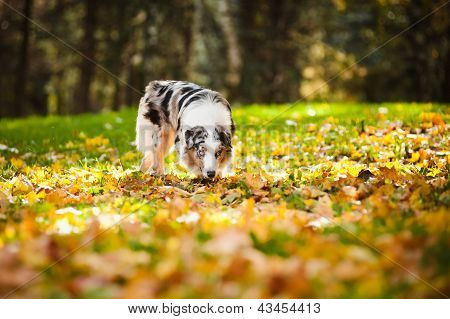 Young Merle Australian Shepherd Walking