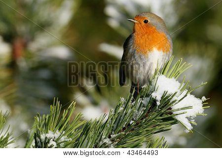 European Robin in Winter snow