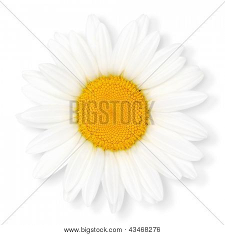 Camomile flower, isolated on the white background, clipping path included.