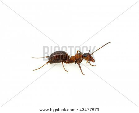 Ant isolated on white