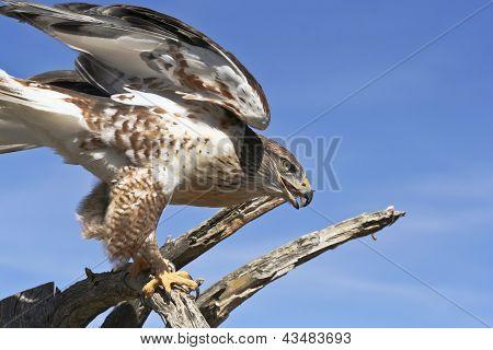 A Ferruginous Hawk On An Old Snag