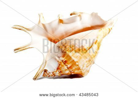 Pink And Orange Sea Shell Isolated On White