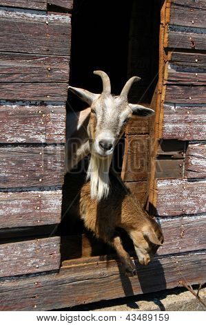 Goats peeking out