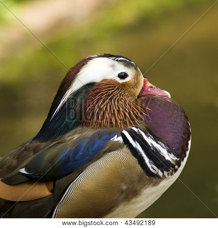 Mandarin Duck Profile